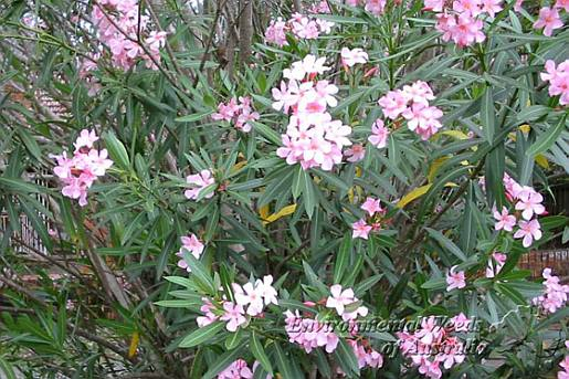 Nerium oleander - leaves and flowers