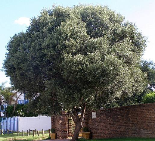 Olea africana - form