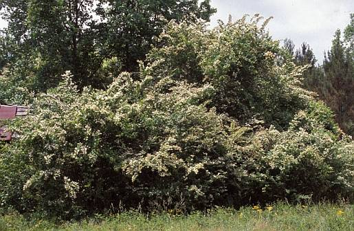 Ligustrum sinense- form