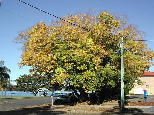 Celtis sinensis - tree