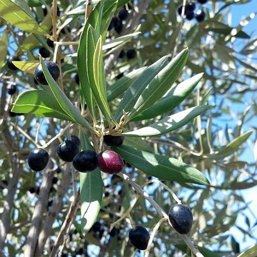 Olea africana - leaves and fruit