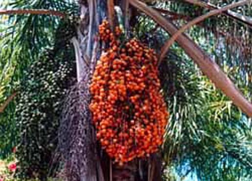 Syagrus romanzoffianum - fruit