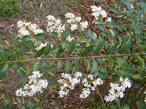 Ligustrum sinense - leaves and flowers