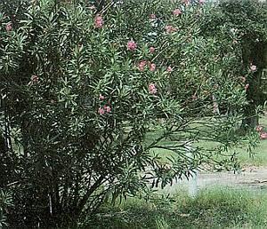 Nerium oleander - form