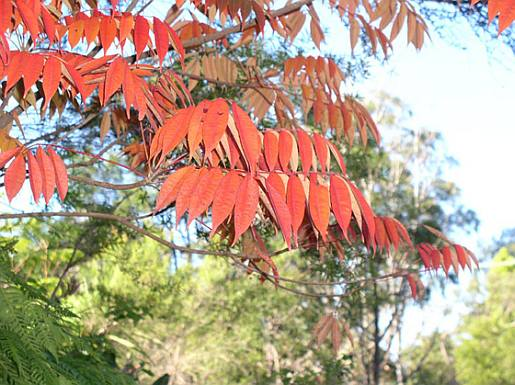 Toxicodendron spp - autumn colour