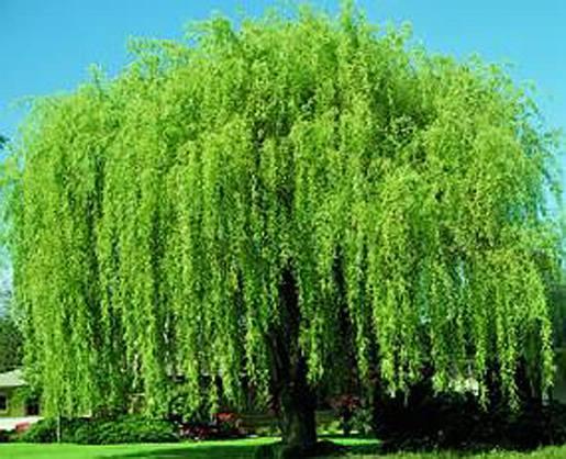 Salix - form