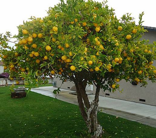 Citrus_spp_-_form