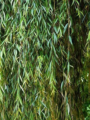 Salix - leaf