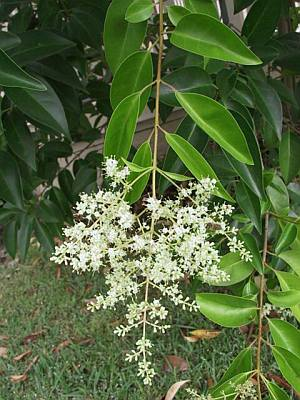 Ligustrum lucidum - leaves and flowers